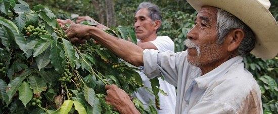 Zwei Kaffeebauern egutachten ihre Kaffeepflanzen.