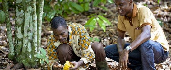 Männer ernten Kakao