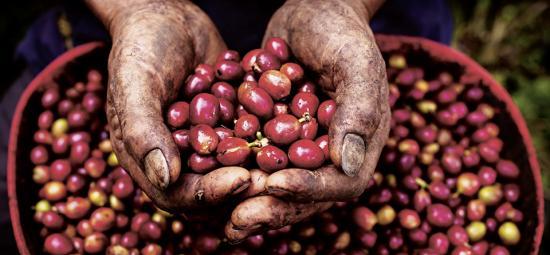 Beste Rohstoffe: Kaffeebohnen